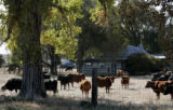 Cattle graze in front of the Hanna Ranch home October 27, 2008. Nearly 10 years ago, the patriarch...