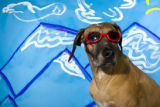 "Makore, a Rhodesian Ridgeback, models ""Doggles"" eye wear protection for dogs in front of..."