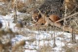 Wednesday December 17: A very large mountain lion was spotted just off Waterton Canyon Road near...