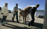Boulder County Animal Control officer Terri Snyder, right , leads a  Icelandic Pony into a horse...