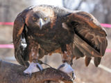 Mike Tincher (cq) holds a disabled Golden Eagle at the Rocky Mt. Raptor program in Fort Collins...