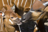 Denver Zoo is celebrating the birth of an endangered eastern bongo antelope, left, that was born...
