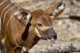 Denver Zoo is celebrating the birth of an endangered eastern bongo antelope that was born on March...