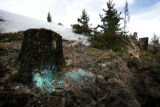 On the Dillon Dam Rd blue paint marks the stumps of  trees that are pine beetle infested and have...