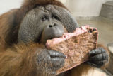 Attached please find photos of Denver Zoo's male orangutan, Robin, enjoying his birthday cake!...