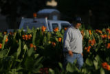 DM8499  Civic Center Park horticulturist Joe Renteria starts his day amongst the flowers as the...