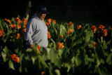 DM8500  Civic Center Park horticulturist Joe Renteria starts his day amongst the flowers as the...