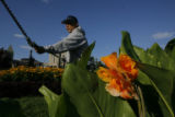 DM8502  Civic Center Park horticulturist Joe Renteria starts his day amongst the flowers as the...
