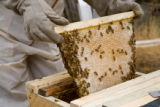 "(Boulder, Colorado, Aug. 7, 2008) A honeycomb, or ""comb,"" is pulled out of the hive. ..."