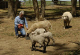Hank Thuener (cq), a retired United Airlines worker, feeds some sheep Wednesday afternoon May 18,...