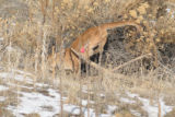 ***DO NOT USE****Wednesday December 17: A very large mountain lion was spotted just off Waterton...