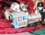 Ferrets:  Tucket and Fenway.  Owner:  Leeanne Pallazola