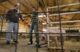 Logan Simpson, a teenager raising prize pigs for the National Western Stock Show teaches city...