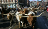 Cowboys drive longhorns down 17th St. from Union Station in downtown Denver Tuesday January 13,...