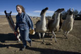 DM1487  LEG56403 L'illette Vasquez rounds up llamas at the ranch where Bobra Goldsmith home burned...