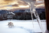 Heather Rousseau/Aspen Daily News Tallis, a Krabloonik rescue dog, runs through a field of...