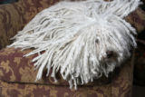 Mary Carol Jehn's dog, Andy, a Puli, in her yarn shop, The Lamb Shoppe, in Denver, Co.  With a...