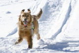 DM2266   Magic, a rescue dog that belongs to Patti Burnett of Summit County Rescue, runs down...