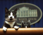 NY124 - ** FILE ** In this March 19, 1994 file photo, Socks the cat peers over the podium in the...