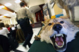 229  A skinned coyote sits on a display table as city decision makers on wildlife issues attended...
