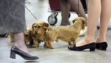 A trio of Wire Hair Dachshund's wait o compete at the 14th Annual Rocky Mountain Cluster at the...