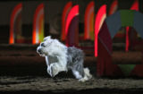 A dog named Puff Daddy, runs through a course during the opening act, Monday afternoon, January...