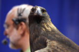 A 26 year-old Golden Eagle watches the crowd as Peter Reshetniak (cq) , President of the Raptor...