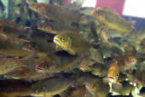 Rainbow Trout swim in a fishing tank at the 2008 Denver International Sportmen's Exposition at the...
