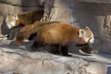 He-Ping is 9 years old and Sophia is 5 years old. In zoos red pandas can live to be more than 15...