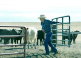 Watkins, CO Oct 5, 2005  Chuck Pancost pens in cattle on land that he's been leasing from the...