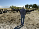Watkins, CO Oct 5, 2005  Chuck Pancost checks his cattle on land that he's been leasing from the...