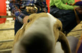 041 Bob, the junior grand champion meat goat, waits to be auctioned by Chama Jade Martin, of...