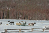 Horses from Devil's Thumb Ranch are fed from a feed sleigh, Monday afternoon, January 14, 2008,...