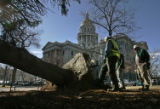 154 A old blue spruce was blown over by the high winds at the State Capitol in Denver, Colo. Tues....