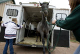 DM5598  Kitty Ranals, left, and Tracy Vale unload Mistique, one of 10 horses they had to evacuate...