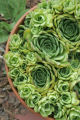 Dig.  Container gardening.  Rob Proctor's yard, July 5, 2007.  Hens and Chicks in a pot.  (ELLEN...
