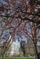 Crabapple trees in full bloom near the State Capitol Thursday April 24,2008. George Kochaniec...