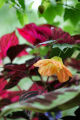 Dig.  Rob Proctor's yard.  Flowering maple, in front, and Iresine (red leaves) in back.  July 5,...