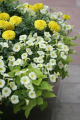 Dig.  Container gardening.  Large pots of cream-colored petunias, yellow marigolds, and sweet...
