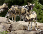 [Denver, CO   6/11/04]  African wild dogs run around in their new habitat in Predator Ridge at the...