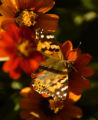 A Painted Lady butterfly takes to a flower in Washington Park Thursday afternoon October 13, 2005....