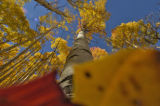Placing some leaves right in front of my lens I took this shot of the aspens at the Maroon Bells...