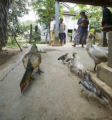 (NYT96) OUTSIDE KOMPONG SPEU, Cambodia -- Nov. 2, 2005 -- BIRD-FLU-CAMBODIA-3 -- Villagers gather...