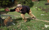 (DENVER, CO, 5/27/04) UCLA researcher Dan Blumstein (cq) tries to coax a marmot out of a cage he...