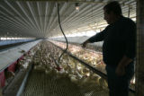 (Boulder County, Colorado, 11/23/2005)  At Dave  Turunjian's (cq) egg farm north of Boulder, the...
