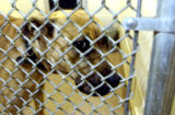 (AURORA, Colo., Nov. 3, 2005) A female pit bull, sits in the Aurora Animal Shelter a day after a...