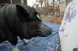 VARIT101 - ADVANCE FOR MONDAY JAN. 7: Smithfield the painting pig has recently been through a...