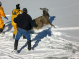 CAPTURING ELK: A cow elk scrambles to move away from rescue workers after it was pulled from a...