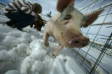 Trevor, a blue butt enjoys a romp in the snow as Ethan Freund pets Ginger in their pen at the...