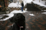 DM0891   Snow falls covering Java's head as she waits for her owner John Cogswell to finish...